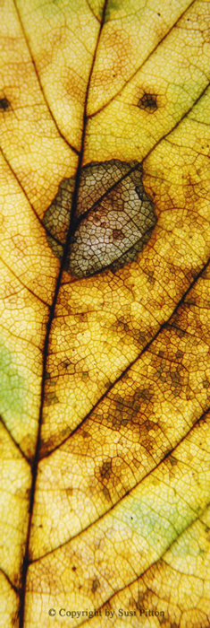 Autumn Leaf #002